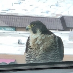 Falcon at the new office